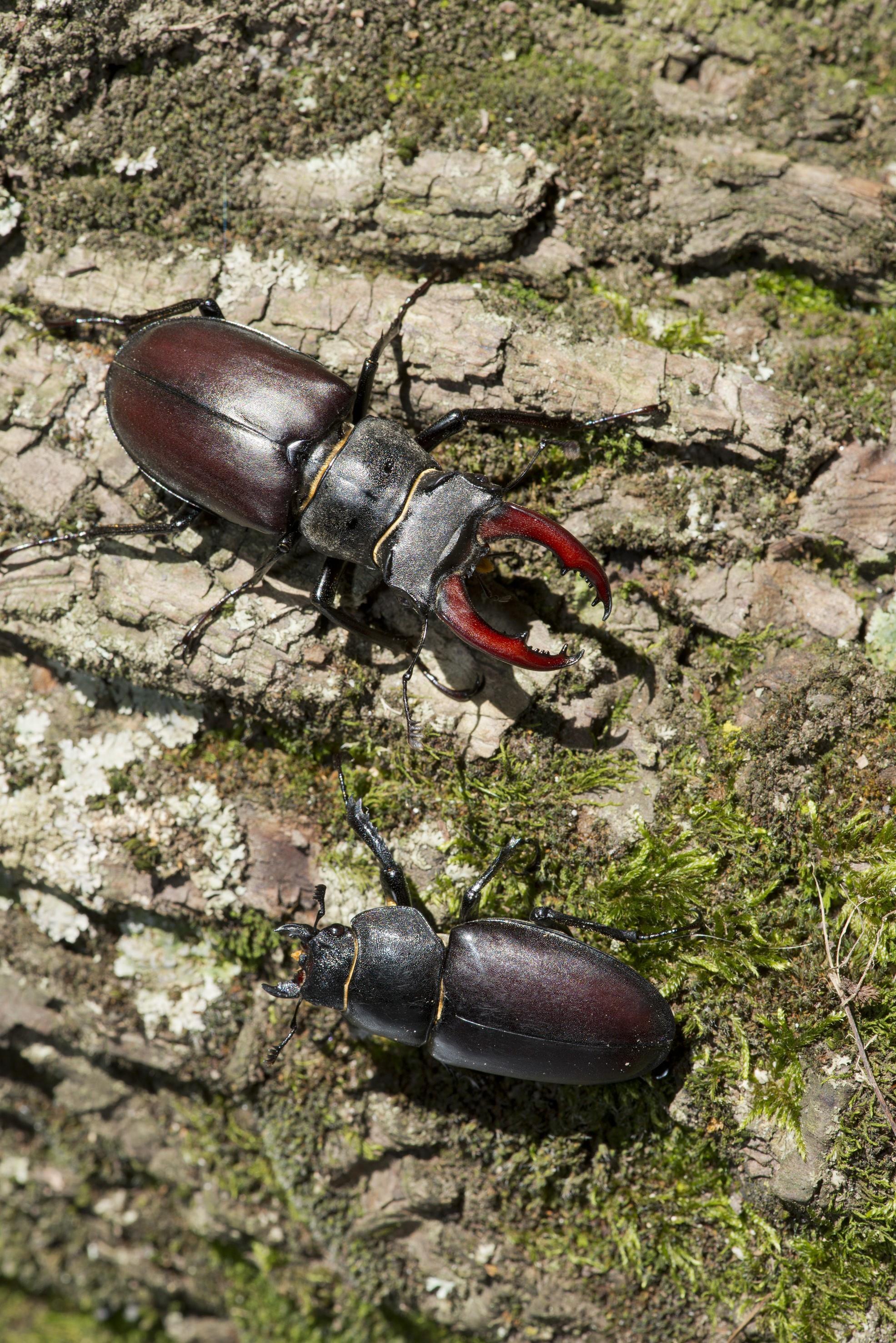 Lucanus cervus mâle et femelle