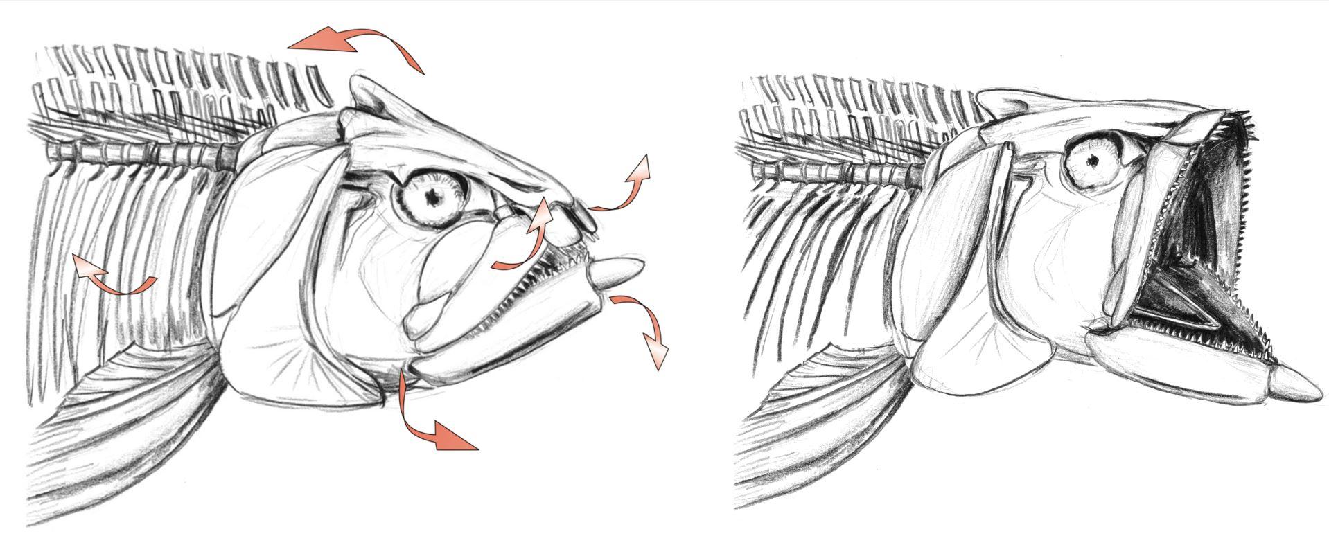 ouverture des mâchoires chez les ichthyodectiformes